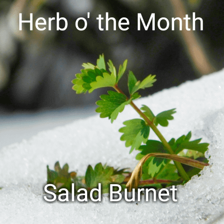 Salad Burnet herb peeking out of snow.