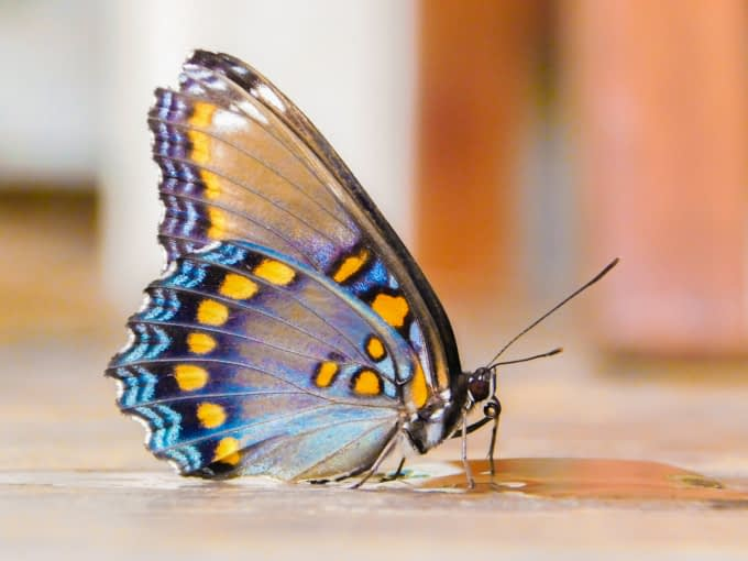 Butterfly drinking sugar water