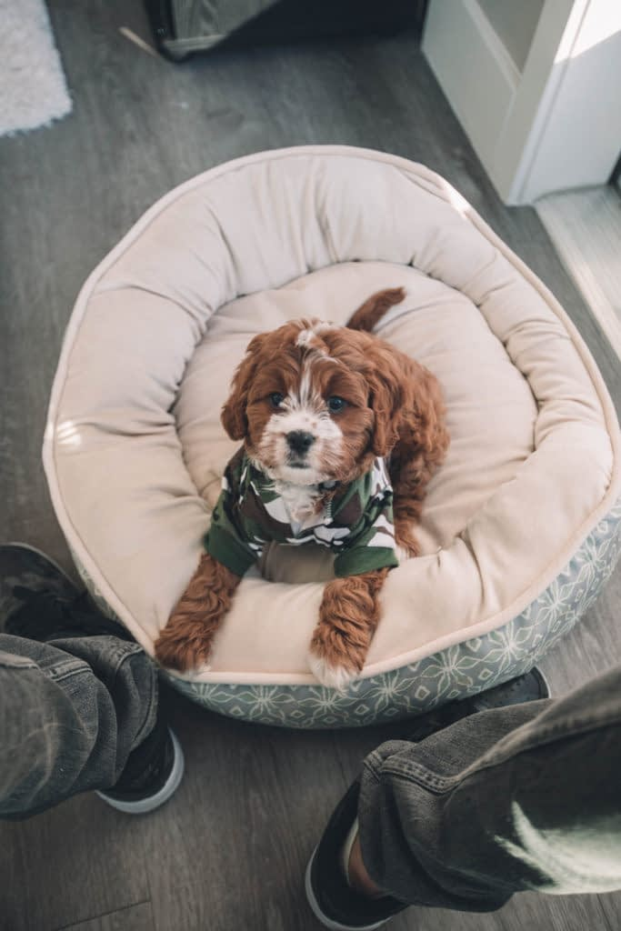 brown and white puppy on a dog bed